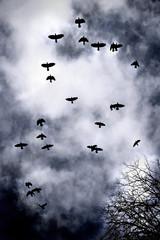 Crow-Flight-Kirkcudbright