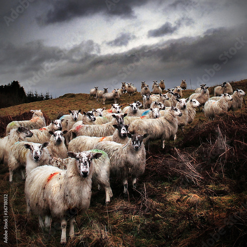 Road to Ayr: staring sheep