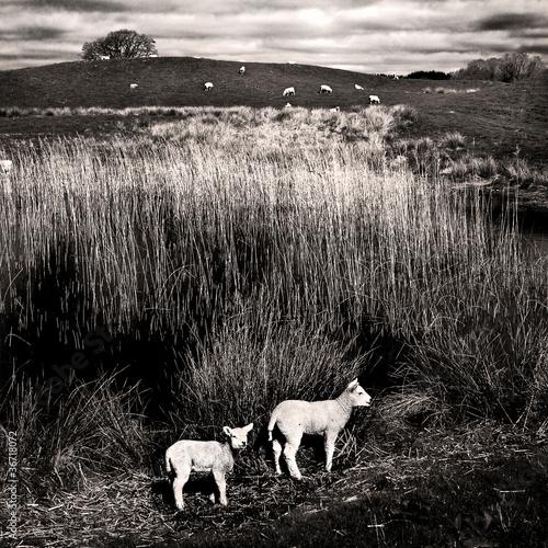 Woodhall-Loch-lambs-reeds