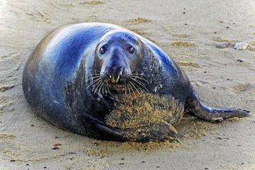 Seal-looking-Horsey-Norfolk