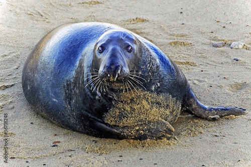 Seal-looking-Horsey-Norfolk
