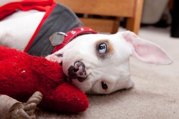 Cute pitbull