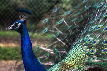 Peacock-III
