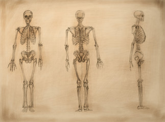 academic drawing skeletons