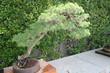 Bonsai Pinus Sylvestris-Pino Albar