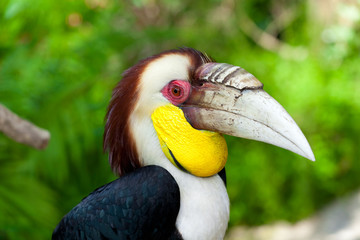 Male Bar-pouched Wreathed Hornbill