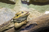 Inland or central bearded dragon (Pogona vitticeps)
