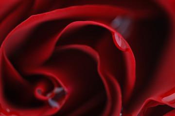 Macro flower beautiful rose
