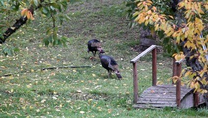 Turkeys feeding On a apple