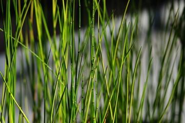 Equisetum hyemale-2