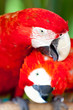 Leinwandbild Motiv Nice parrots - Scarlet Macaw