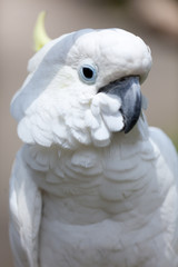 Speaking white cockatoo