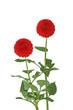 Red Dahlia Plant