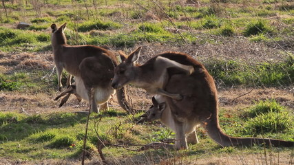 Two kangaroos with joeys