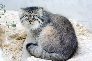 Chat manul ou chat de pallas