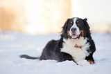 Beautiful bernese mountain dog (Berner Sennenhund) lies on snow