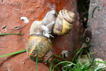 Escargot accouplement