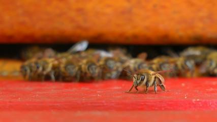 Biene vor Bienenstock