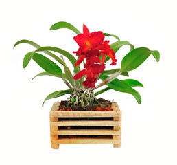 beautiful red orchid flower