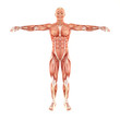 Man muscles anatomy system isolated on white background