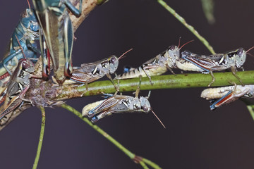 A View of Grasshoppers on a Branch