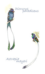 Watercolor Animal Collection: Birds of Paradise