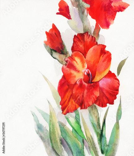 Akwarela Flora Kolekcja: Mieczyk