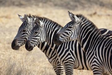 Zebras 0761