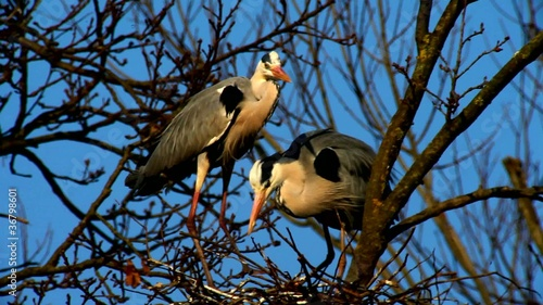 Herons Miniclips with Chicks