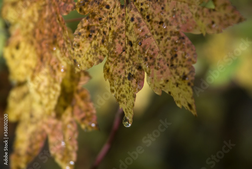 Raindrops on Vine Maples
