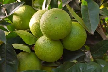 arance acerbe sull'albero