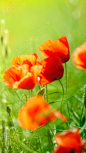 Red poppies in beautiful sunlight