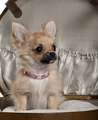 Close-up of Chihuahua puppy, sitting in baby stroller