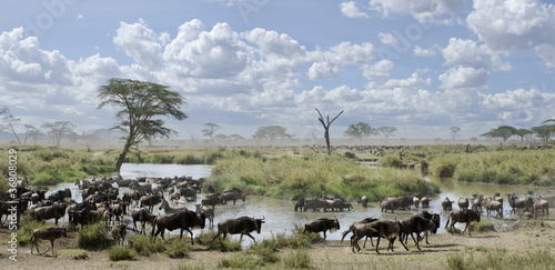 Papiers peints Zebra Herd of wildebeest and zebras in Serengeti National Park