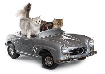 Persian cat and Norwegian Forest Cat, driving convertible