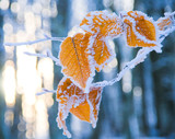 Fototapety leaves  covered with snow