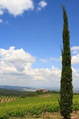 Zypresse, einsamer Wächter über Weinfelder,Toskana,Italien