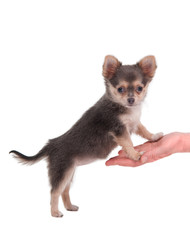 Cute chihuahua puppy standing on girl's hand