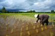 Asian female farmer planting rice in field.