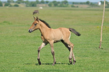 foal in a meadow