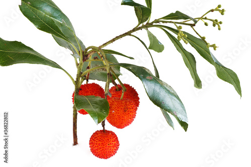 ramo con corbezzoli - bunch of arbutus
