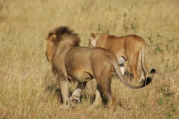 The royal couple walks at Masai Mara, Kenya