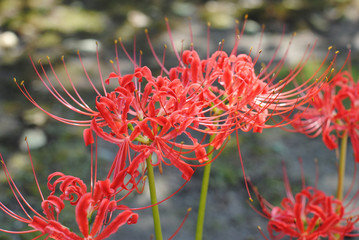 Lycoris radiata, Japon automne 2011