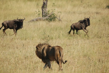Lion hunts wildebeest at Masai Mara, Kenya