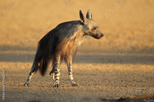 Fotobehang Brown hyena