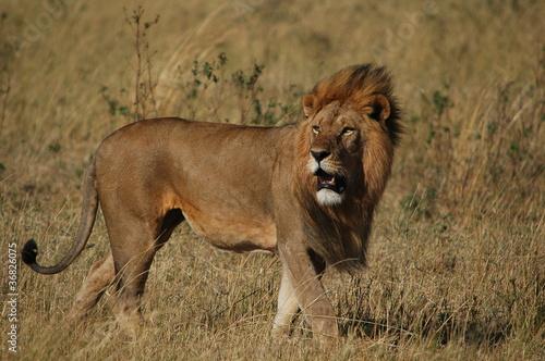 Fototapeta Lion (Panthera leo) in Masai Mara National Reserve (Kenya)