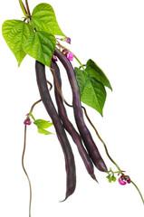 Violet kidney beans
