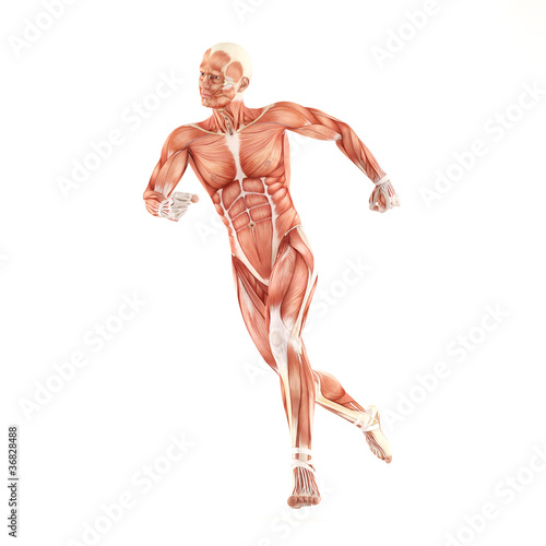 Running man muscles anatomy system isolated on white background