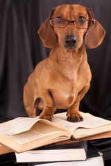 trained dogs dachshund in glasses with books