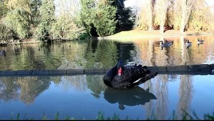 cygnes noir